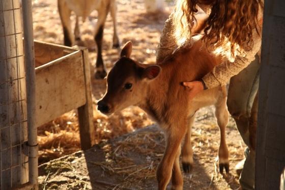 Maribelle, our sweet jersey calf in 2012...
